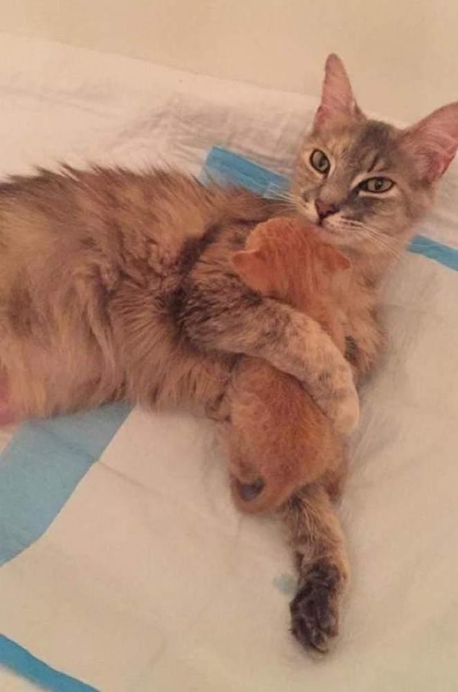 mother-shelter-cat-nurtures-orphan-kitten-ember-flame-9