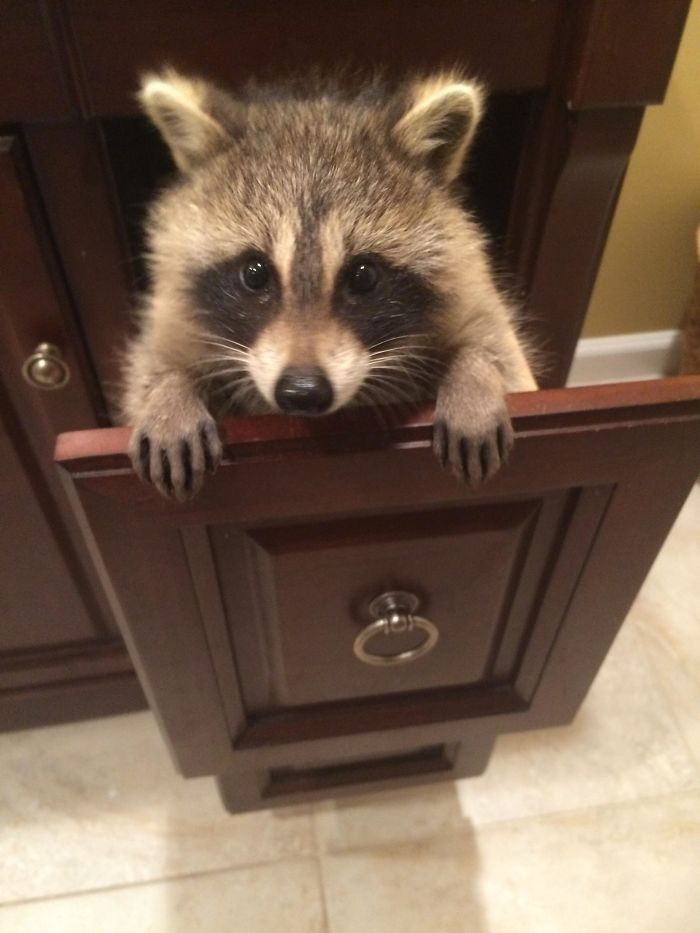 10 Trash Panda Pics That Prove Theyre The Cutest Animal In The World Bored Panda