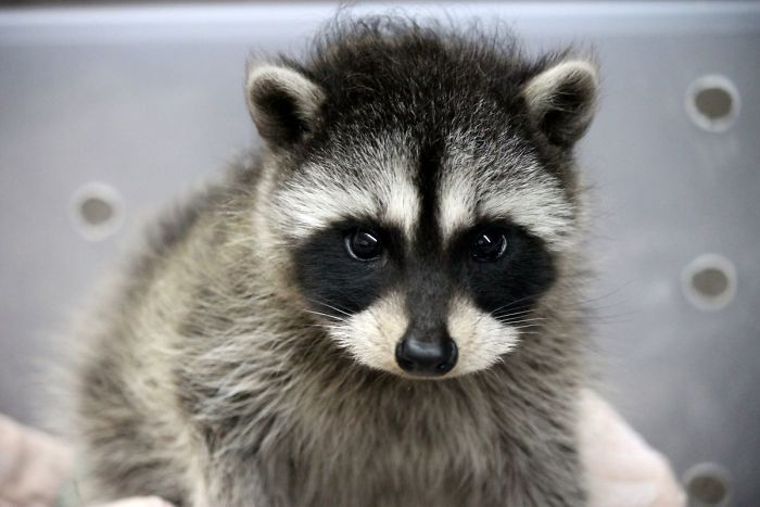 Cute Baby And Mom Wallpaper 86 Trash Panda Pics That Prove They Re The Cutest Animal