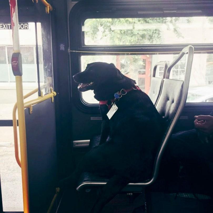 dog rides bus seattle eclipse 5948e1cee5c6f  700 - Cachorro pega todos os dias ônibus para ir ao parque