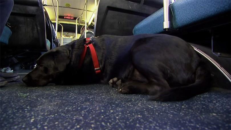dog rides bus seattle eclipse 9 5948c8a6797e4  700 - Cachorro pega todos os dias ônibus para ir ao parque