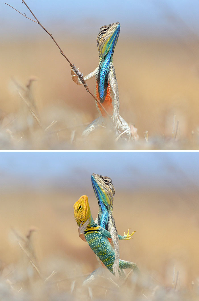 Colorful Lizard Holding A Twig