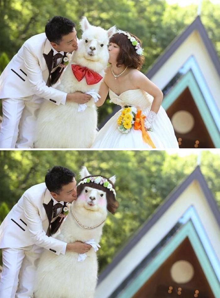 Japanese Wedding With Alpaca