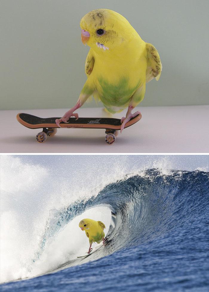 Skateboarding Budgie