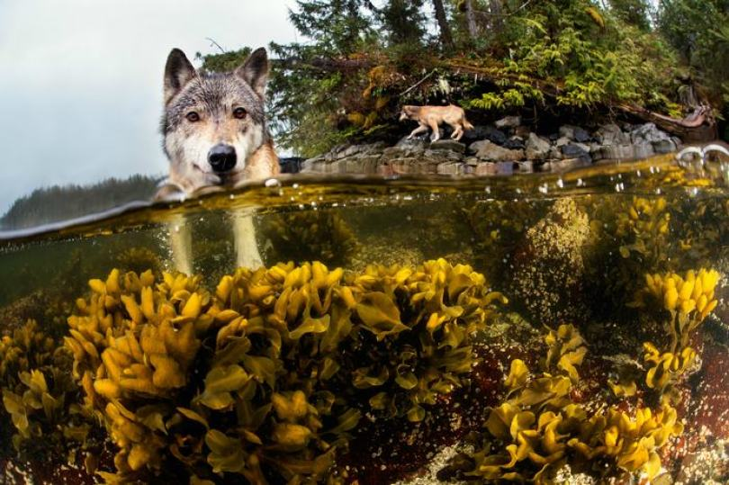 swimming sea wolves pacific coast canada ian mcallister 3 - National Geographic: Lobos do mar