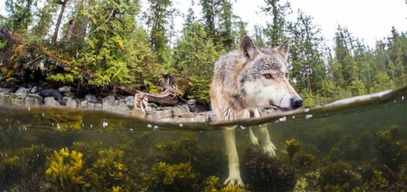 Natação-mar-lobos-pacific-coast-canada-ian-mcallister-4