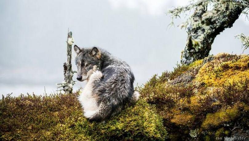 swimming sea wolves pacific coast canada ian mcallister 9 - National Geographic: Lobos do mar