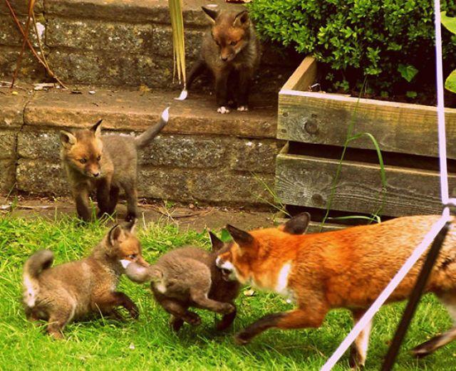 Me Desperté Para Ver Esto, Un Zorro Y Sus Cachorros Jugando En Mi Jardín