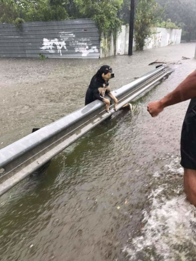 Dog Hanging On During Houston Flooding. She Was Rescued!