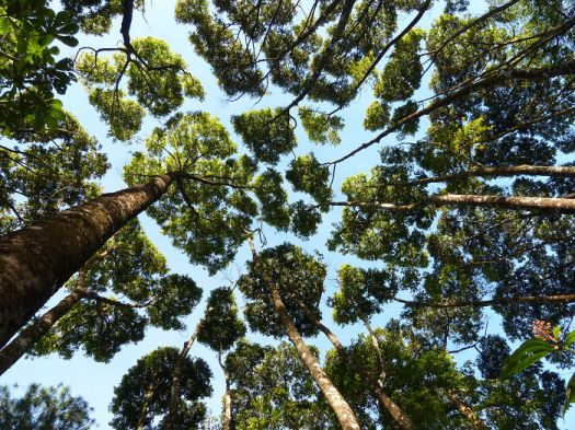 Crown Shyness Trees
