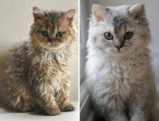 curly cats descended