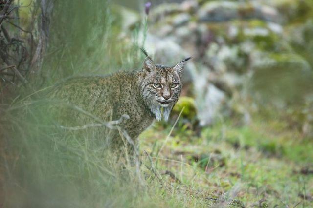 Glimpse Of A Lynx By Laura Albiac Vilas, Spain