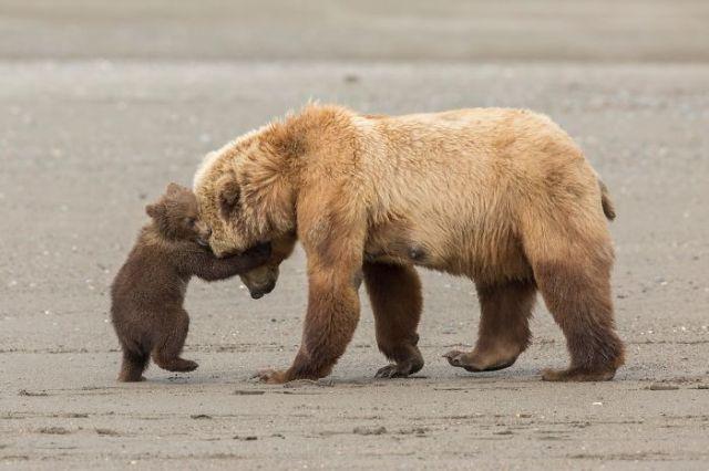 Bear Hug By Ashleigh Scully, US