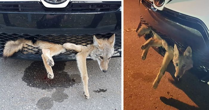 coyote defies all odds