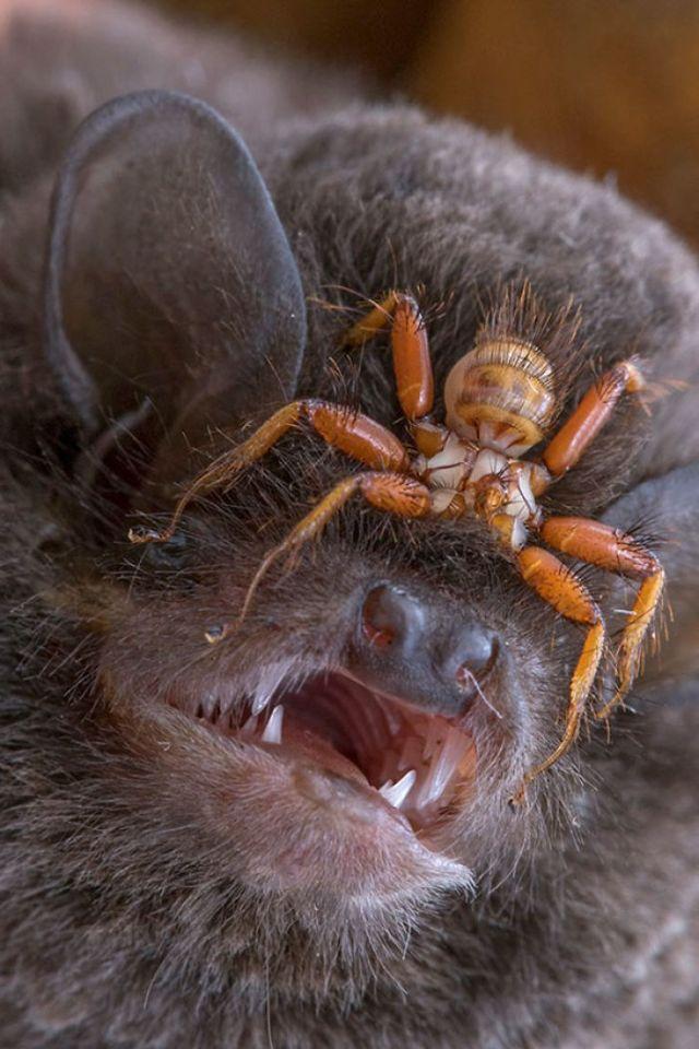 La Mosca Sin Alas Penicillidia Que Se Acopla A Las Cabezas De Los Murciélagos Y Jamás Deja Su Cuerpo