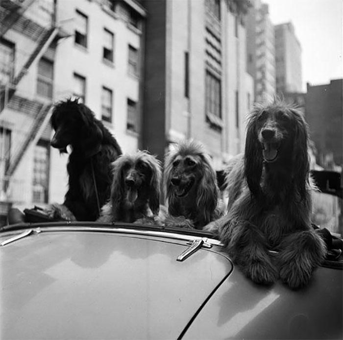 Cani In Una Convertibile, 1949