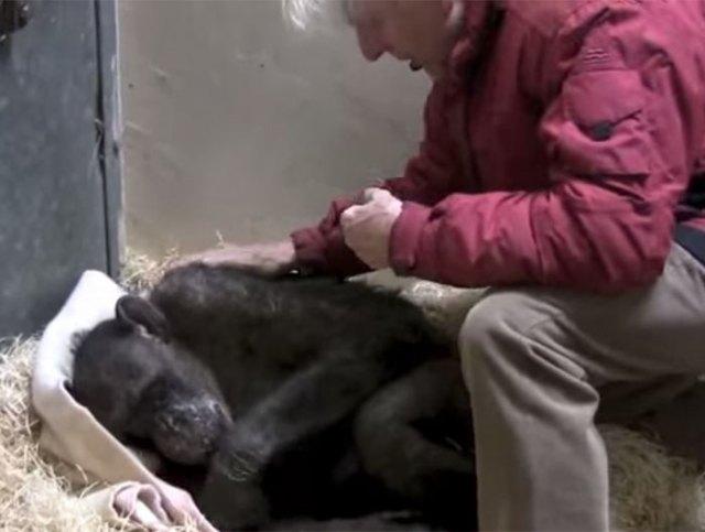 59-year-old-sick-chimpanzee-recognize-friend-jan-van-hooff-4