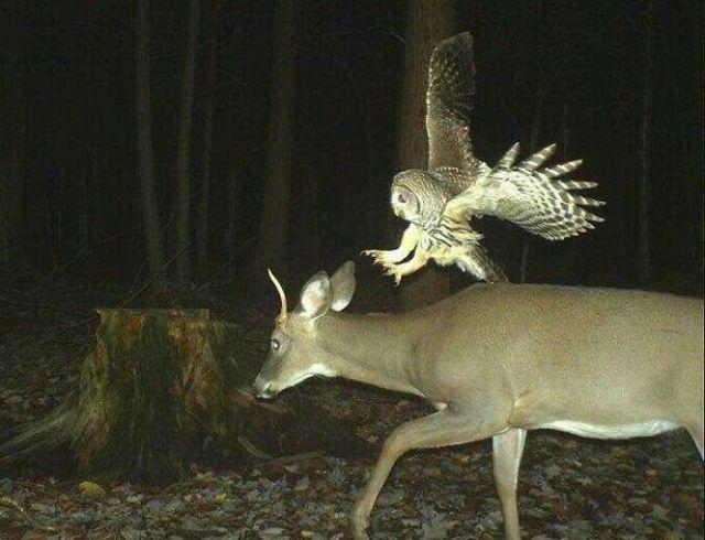 Este ciervo comenzará a aborrecer a los búhos en 3, 2, 1...