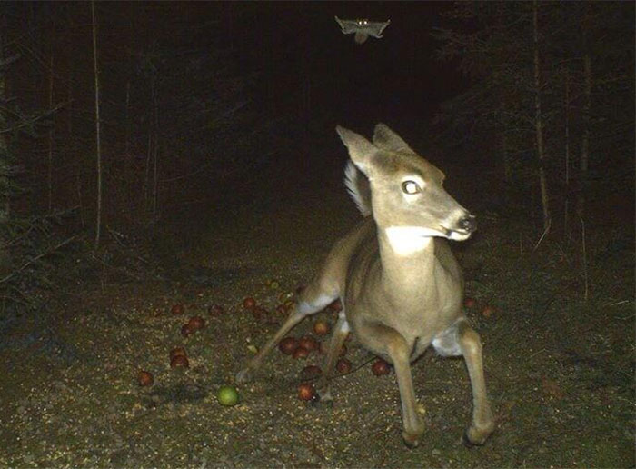 Deer Runs From Flying Squirrel