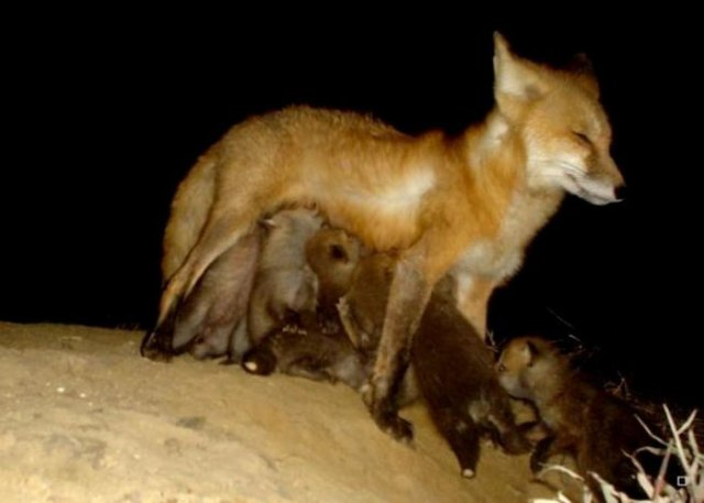 Zorro hembra amamantando a sus ocho crías frente a su madriguera