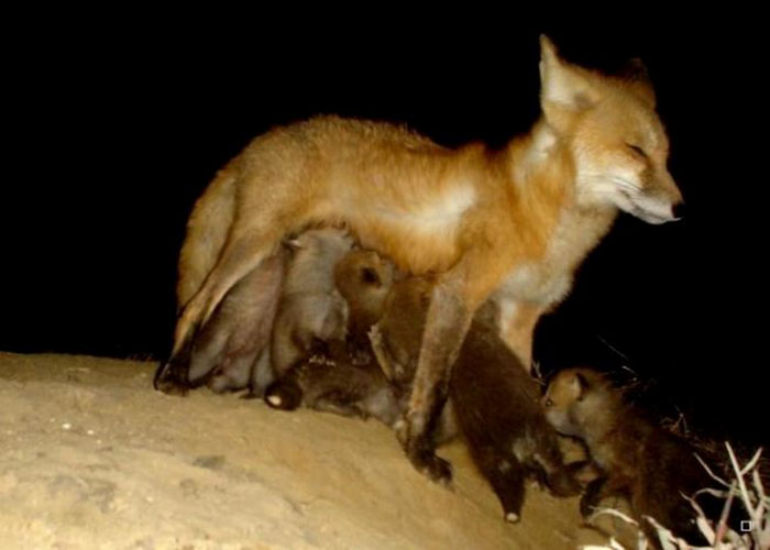 This Fox Has 8 Kits And I Got This Trail Cam Pic Of Them Nursing In Front Of The Den Site