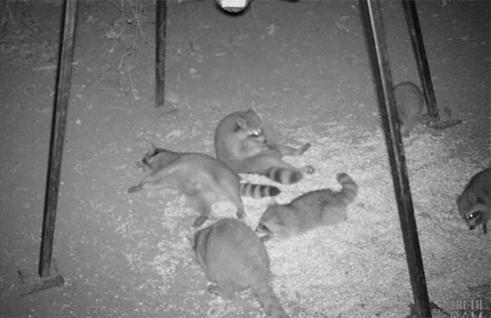 Game Camera Captures A Raccoon Party Underneath Malfunctioning Deer Feeder