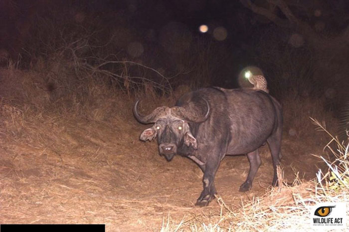 Wild Cat Riding A Buffalo