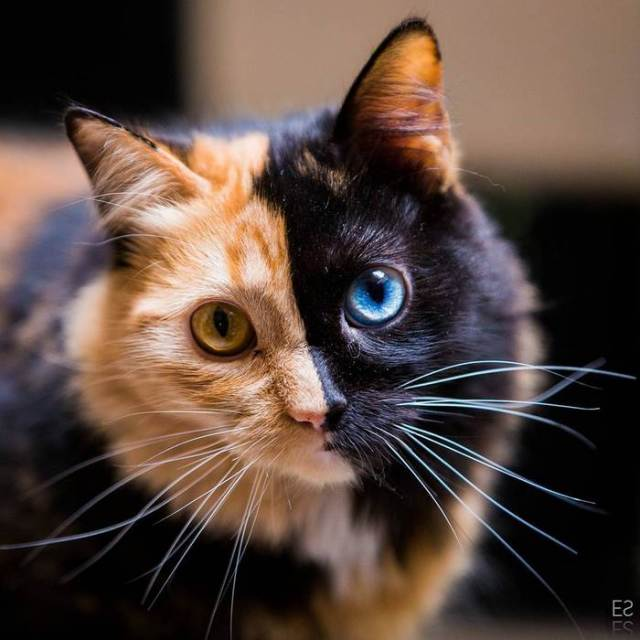 chimera-cat-split-face-different-eyes-gataquimera-30