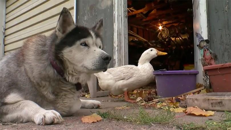 dog duck friendship max quackers minnesota 5 5a09514b18e3b  700 - Cachorro virou amigo inseparável de pato - Você acredita?