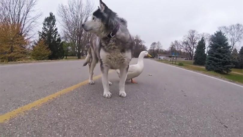 dog duck friendship max quackers minnesota 7 5a0951510d216  700 - Cachorro virou amigo inseparável de pato - Você acredita?