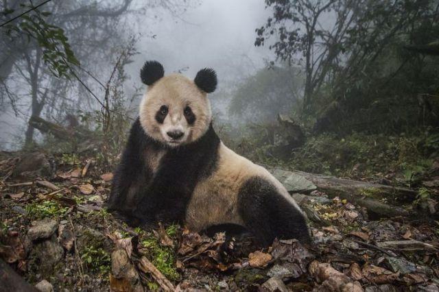 Pandas Salvajes, Ami Vitale (2º En Animales En Su Ambiente)