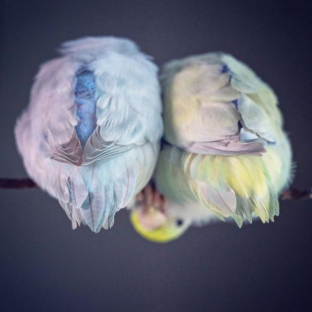 A-Storybook-Love-Between-Pastel-Parrotlets-5a83fa87efbfe__880 I Document A Storybook Love Between My Pastel Parrotlets, And The Result Will Melt Your Heart Design Random