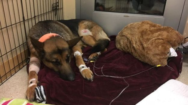 Dog-hero-almost-loses-his-life-by-saving-his-owner-from-criminals-5a9368d750ad1__700 Brave Dog Gets Shot While Protecting His 16-Year-Old Owner From Armed Intruders Design Random