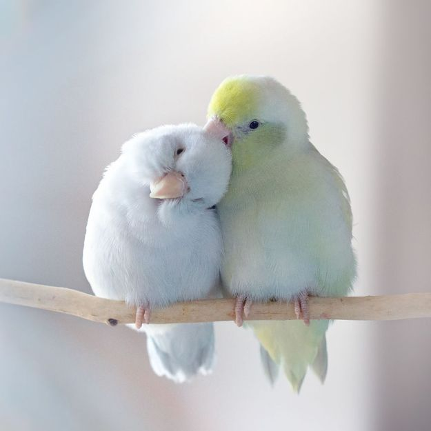 Z1A0070-Edit-copy-5a832b29a0cb6__880 I Document A Storybook Love Between My Pastel Parrotlets, And The Result Will Melt Your Heart Design Random