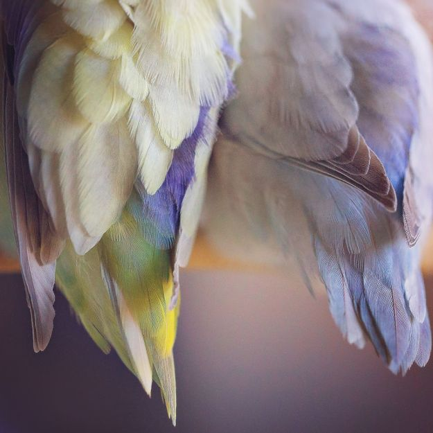Z1A0098-Edit-Edit-copy-5a832b2ca0345__880 I Document A Storybook Love Between My Pastel Parrotlets, And The Result Will Melt Your Heart Design Random