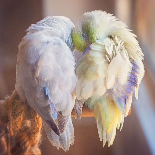 Z1A0140-Edit-copy-5a832b2fb879e__880 I Document A Storybook Love Between My Pastel Parrotlets, And The Result Will Melt Your Heart Design Random