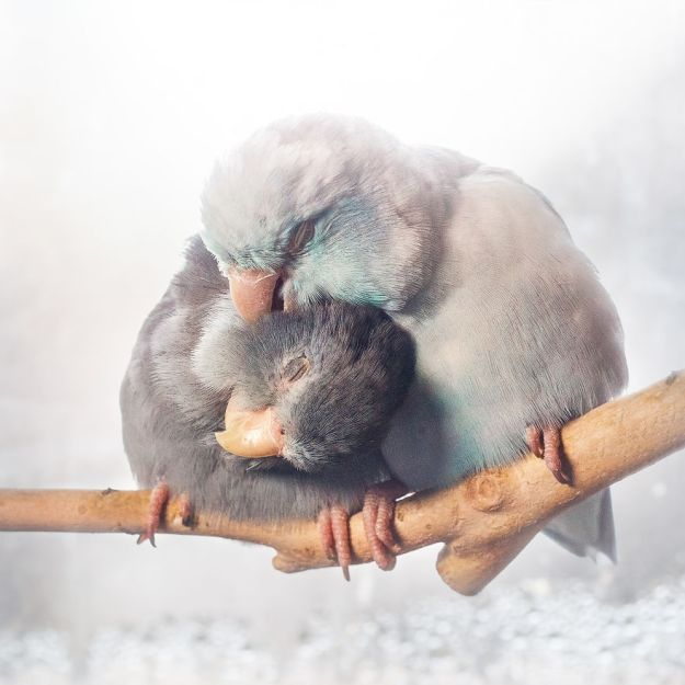 Z1A0352-Edit-Edit-copy-5a832b32eb66d__880 I Document A Storybook Love Between My Pastel Parrotlets, And The Result Will Melt Your Heart Design Random