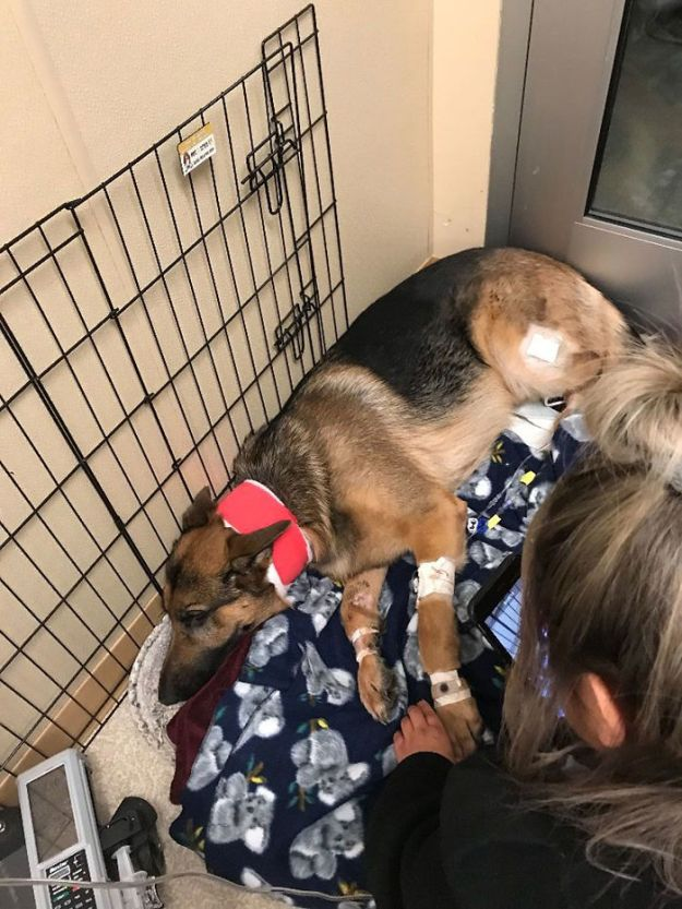 rex-the-dog-2-5a936326878c3__700 Brave Dog Gets Shot While Protecting His 16-Year-Old Owner From Armed Intruders Design Random
