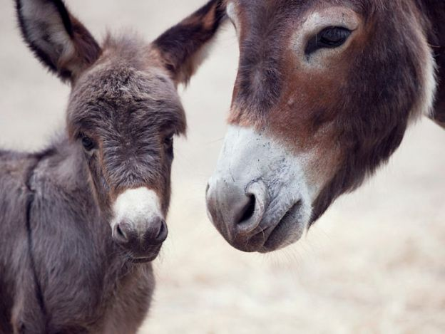 5a97f93c01563__700 These 25+ Cute Baby Donkeys Are Everything You Need To See Today Design Random