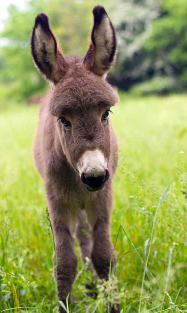 5a97fe4538e22__700 These 25+ Cute Baby Donkeys Are Everything You Need To See Today Design Random
