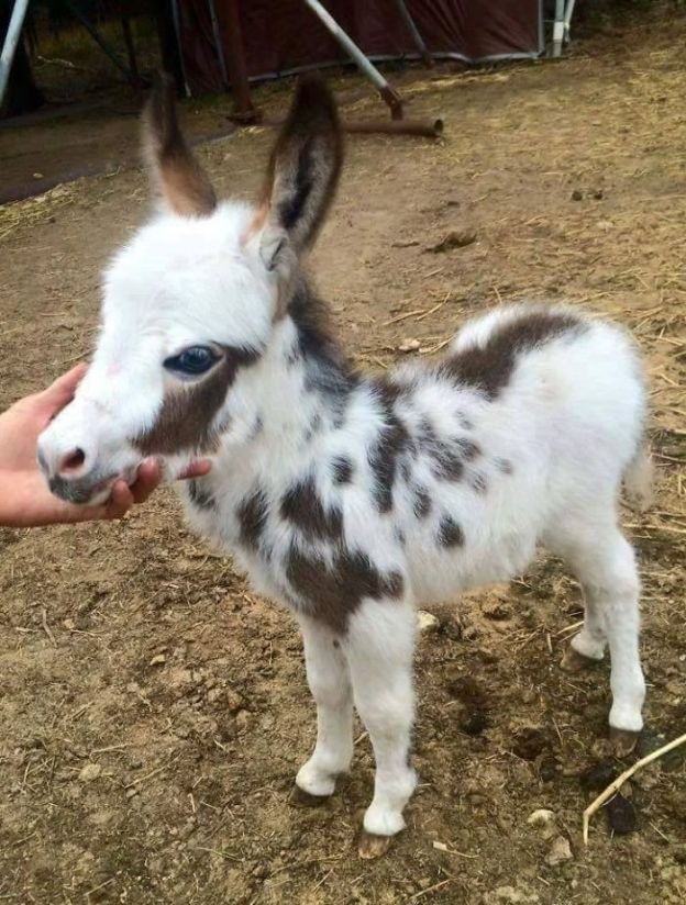 5a980b49216ca_9MpgB5Y__700 These 25+ Cute Baby Donkeys Are Everything You Need To See Today Design Random