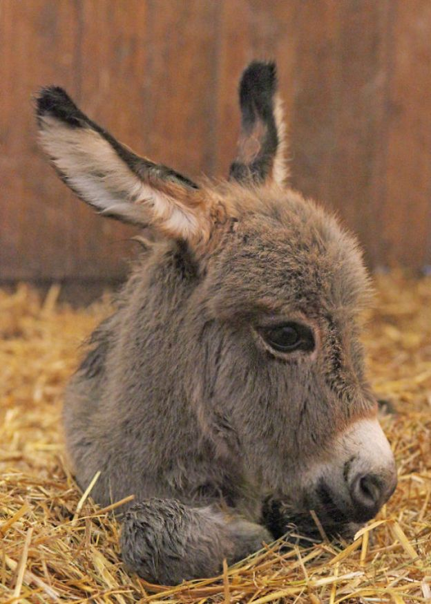 5aa8fc64353a6_FYxEWrr__700 These 25+ Cute Baby Donkeys Are Everything You Need To See Today Design Random