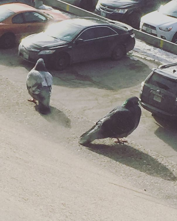 Pic Of Two Plump Pigeons Perched On The Ledge But Ended Up Getting A Picture Of Two Massive Pigeons Looking For Their Car