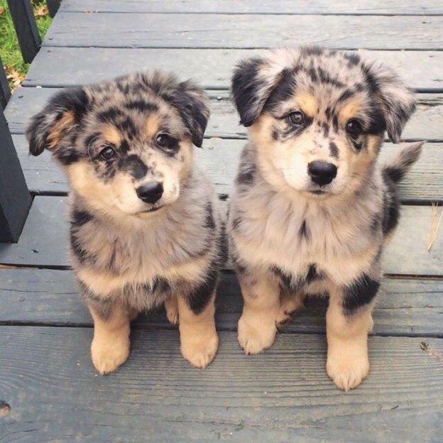 cute-australian-shepherds-202-5aa642e3ad51f__700 20+ Reasons Why Australian Shepherds Are The Best Dogs Design Random