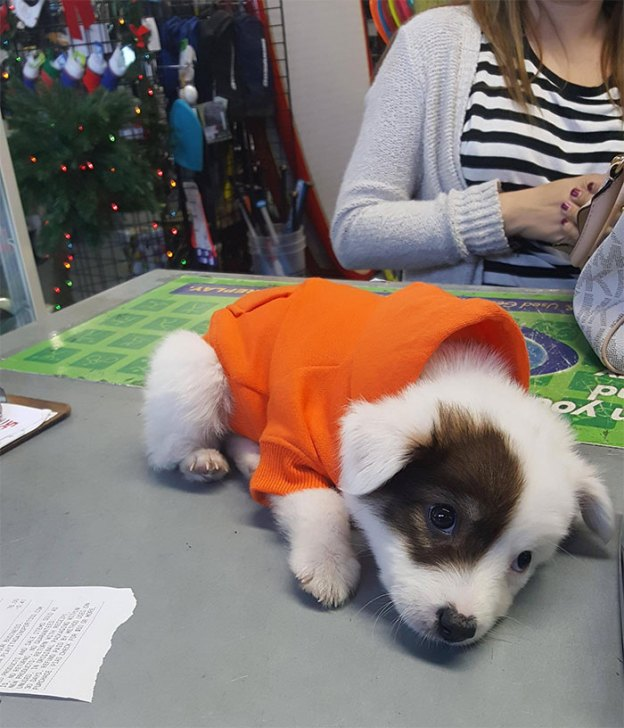 cute-australian-shepherds-3-5a9fa5134a17f__700 20+ Reasons Why Australian Shepherds Are The Best Dogs Design Random