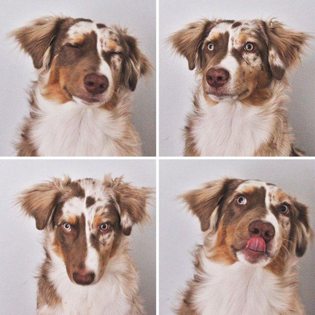 cute-australian-shepherds-350-5aa27f01b7a75__700 20+ Reasons Why Australian Shepherds Are The Best Dogs Design Random