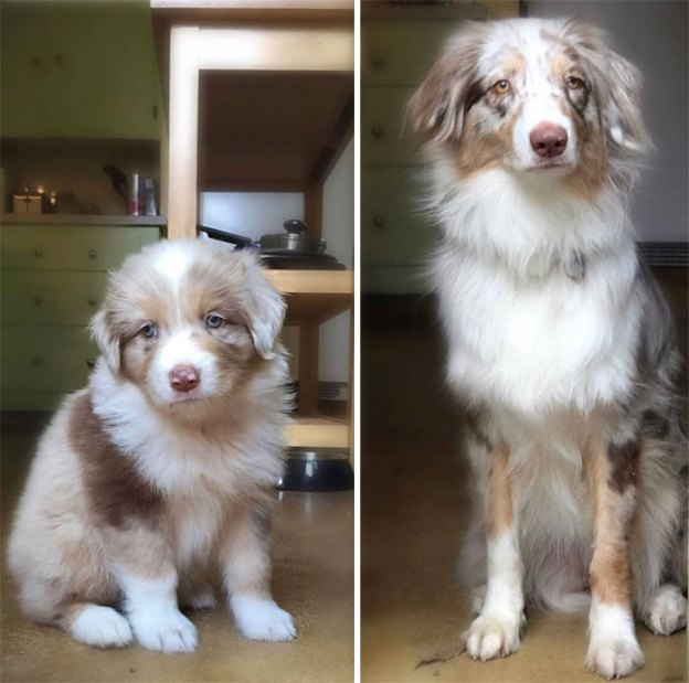 cute-australian-shepherds-9-5a9faa1d207b6__700 20+ Reasons Why Australian Shepherds Are The Best Dogs Design Random