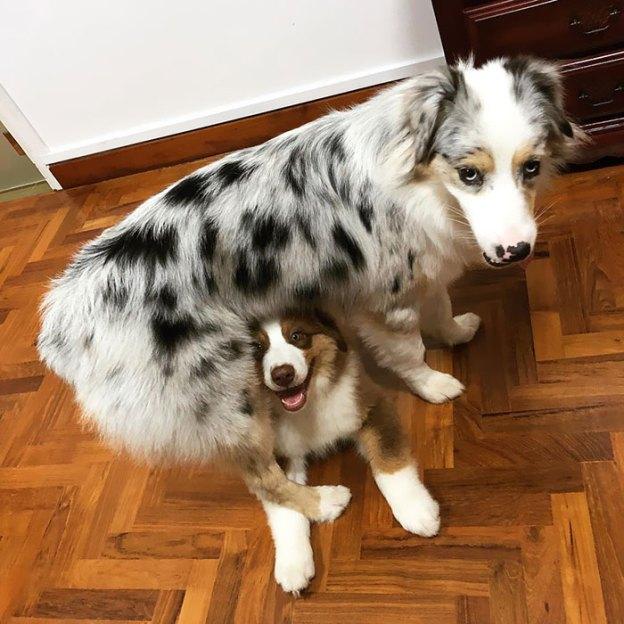 cute-autralian-shepherds-28-5aa296de3b59a__700 20+ Reasons Why Australian Shepherds Are The Best Dogs Design Random