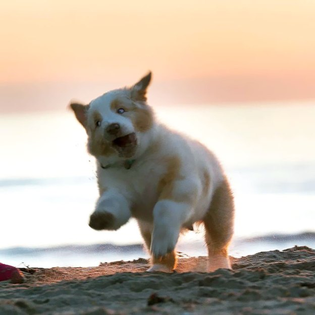 cute-autralian-shepherds-73-5aa29b8da47d1__700 20+ Reasons Why Australian Shepherds Are The Best Dogs Design Random