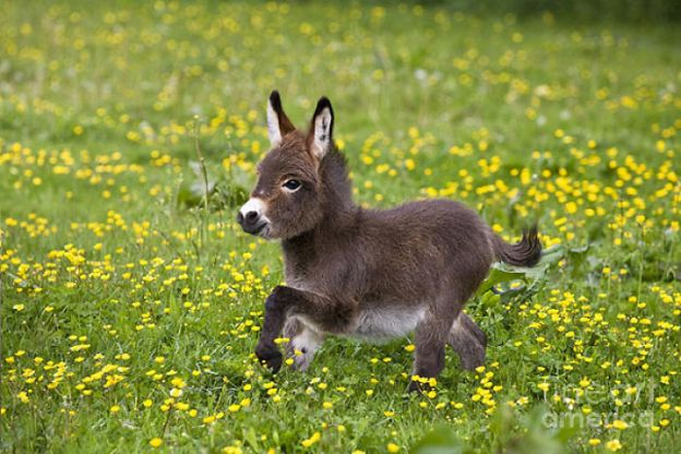 cute-miniature-baby-donkeys-15-5aaa277ac4000__700 These 25+ Cute Baby Donkeys Are Everything You Need To See Today Design Random